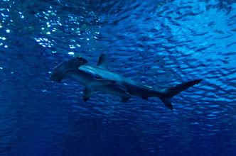 Keanan Kintzel Admires A Small Hammerhead Shark